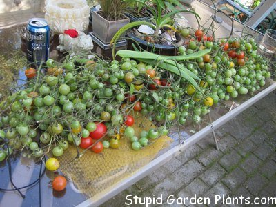 I'll let these ripen up on the windowsill