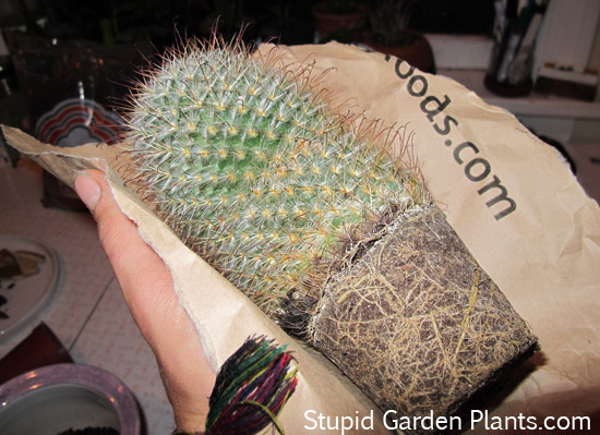 how to repot a cactus  easy  stupid garden plants, Natural flower
