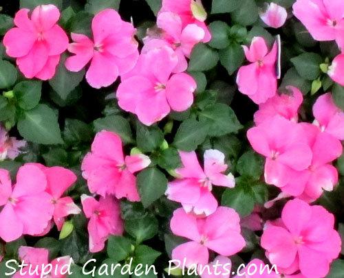 Common Garden Plants annuals | stupid garden plants