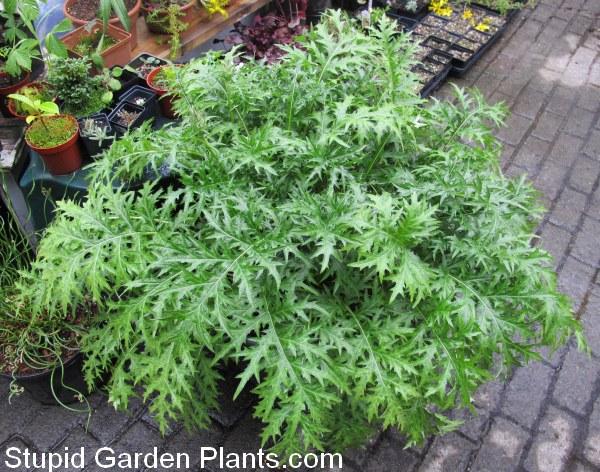 Plant Garage Sale Score Acanthus Spinosus Stupid Garden Plants