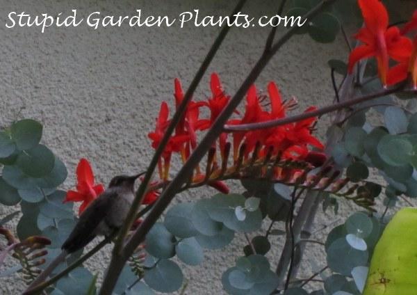 Hummingbird flowers how to attract hummingbirds stupid garden plants some mightylinksfo