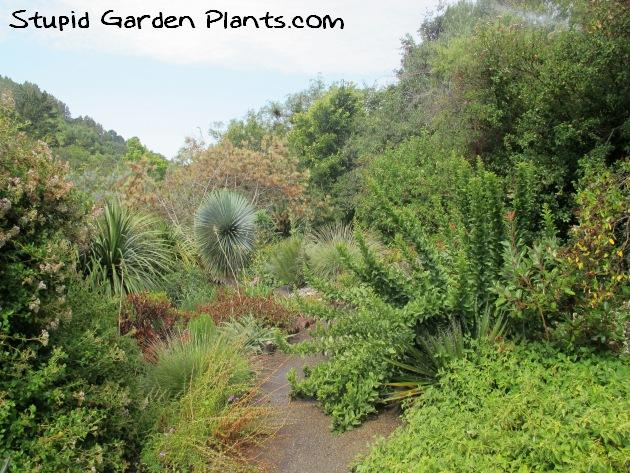 UC Berkeley Botanical Garden   Stupid Garden Plants
