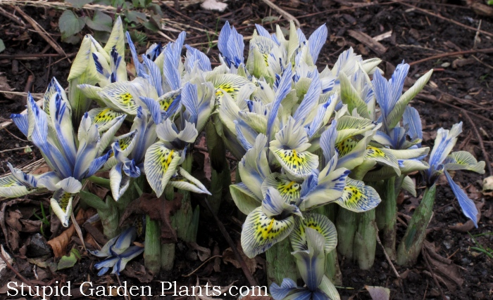I always try to visit Government House during the early spring but I've never seen these before. They're almost beating the snowdrops in their bloom time. It's hard to tell in this photo but they have a slight green hue. A different form of Iris reticulata? What do you think?