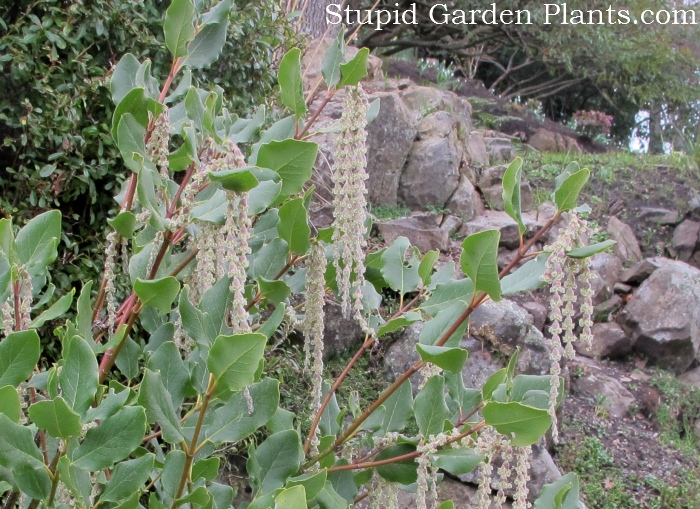 I've only recently learnt about this plant; Garrya elliptica and ever since I've been noticing them all around town. Well, 2 so far, but still I find it weird that I only notice them now that I've read about them. I'm easily smitten by plants that do their performance in the depths of winter. This one looked relatively new in the planting. For a large more incredible specimen check out the one near City Hall in Centennial Square.