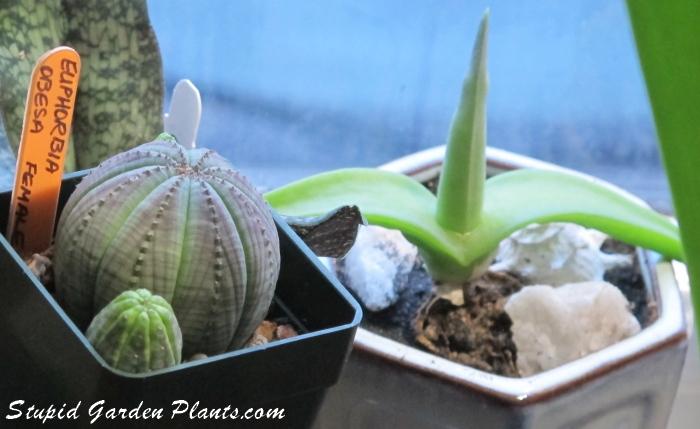 Euphorbia & mitrophyllum grande