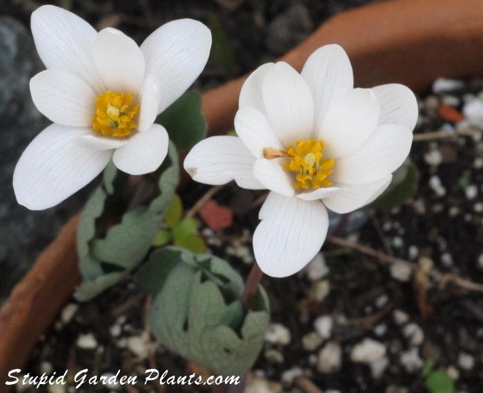 sanguinaria canadensis flowers