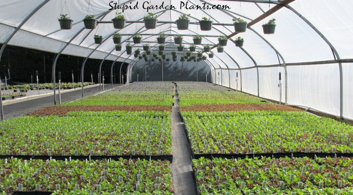 Greenhouse lettuce crop