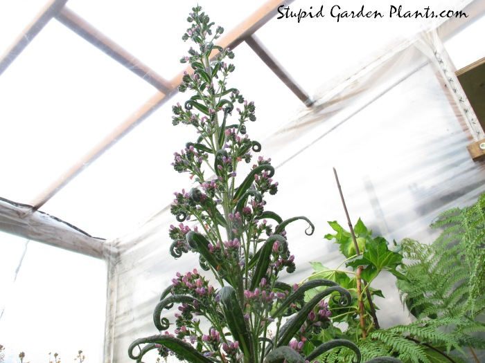 Echium pink fountain