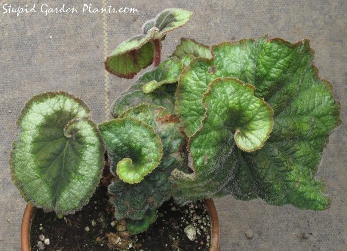 Begonia 'Escargot'