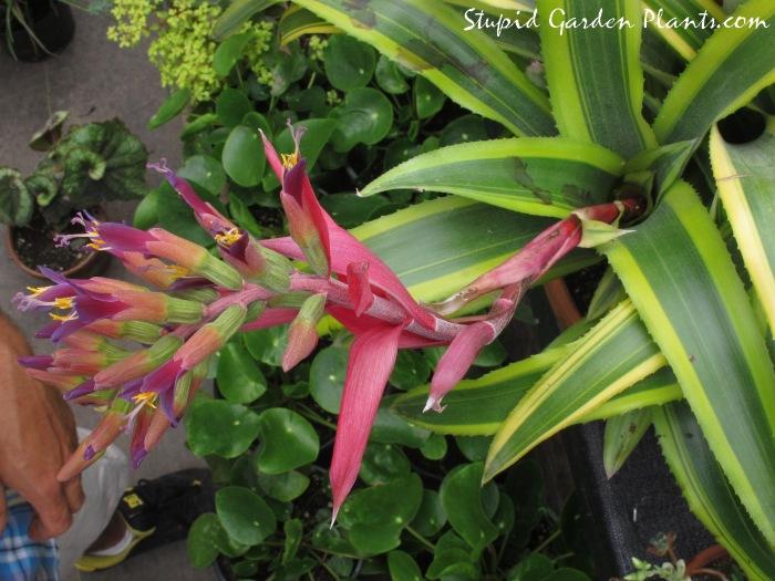 "billbergia pyramidalis ""striata"