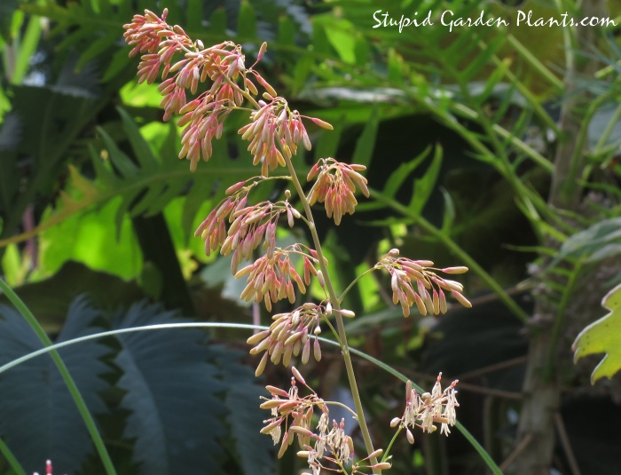 Plume Poppy Flowers