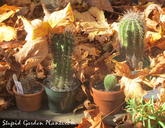 cacti in autumn