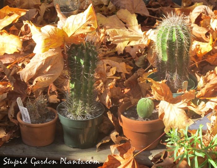 cacti in autumn