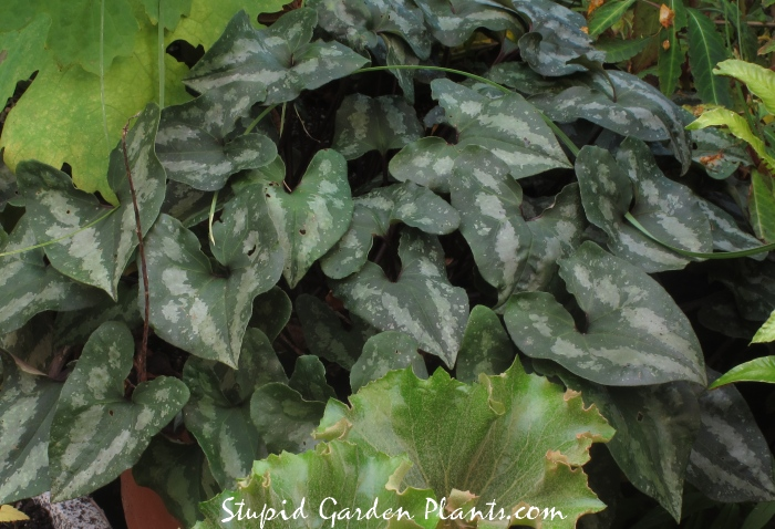 Asarum splendens