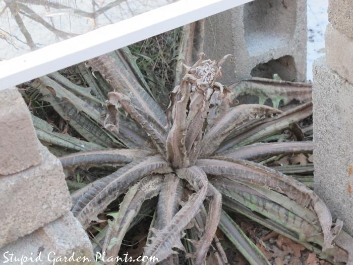 Frost damaged sonchus acaulis
