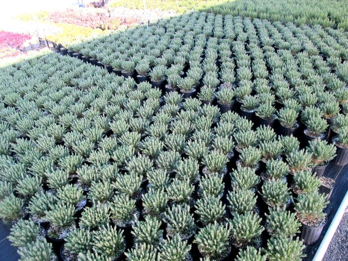 lavendula fields