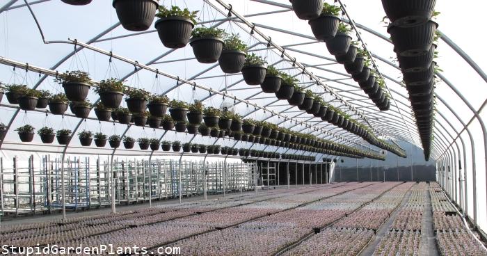 Fuchsia baskets