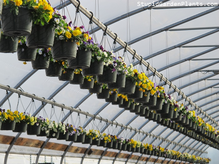 Hanging Cool Wave Pansies