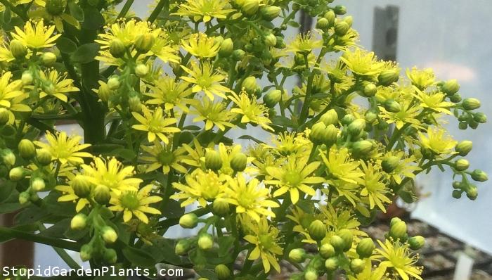 aeonium atropurpureum flowers