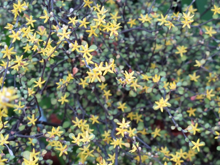 corokia little prince flowers
