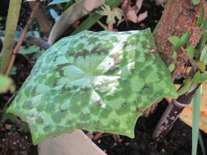 Podophyllum 'Spotty Dotty'