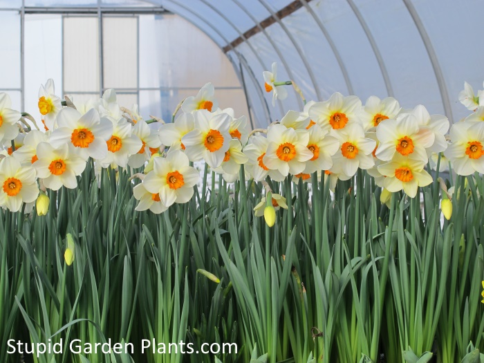 Daffodils flowering at the greenhouse