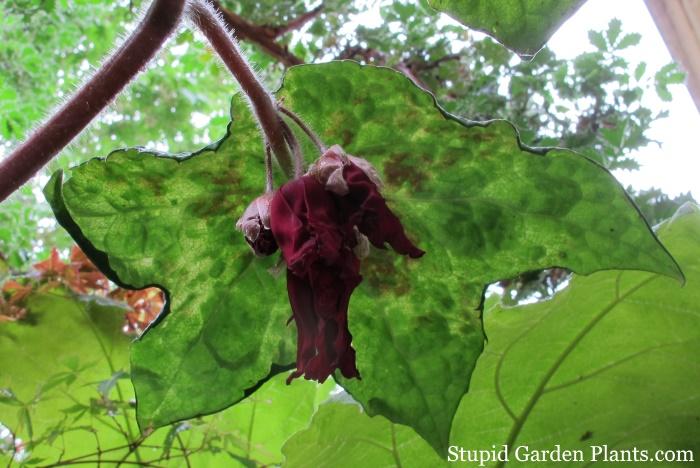 Podophyllum Spotty Dotty Flower