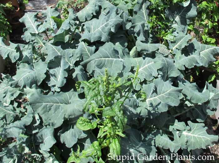 Broccoli Premium Crop