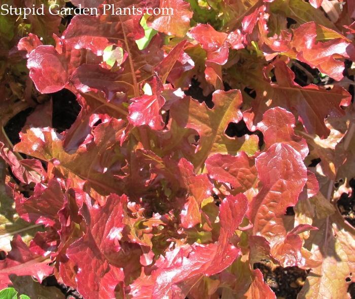 Lettuce Red Sails