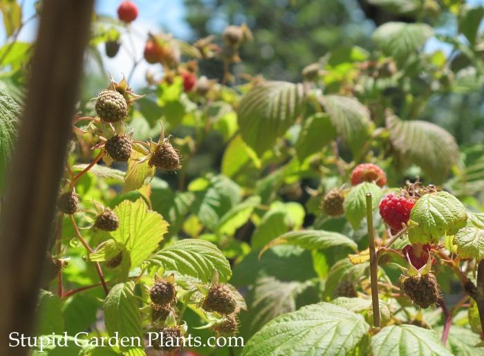 Raspberry Everbearing