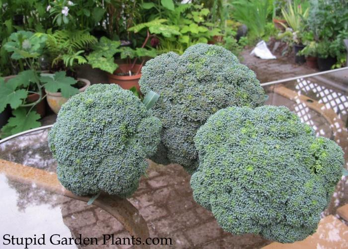 Broccoli Premium Crop