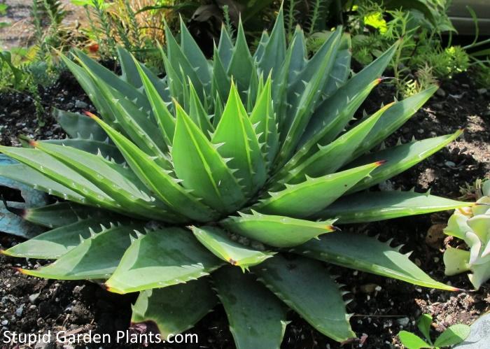 Aloe polyphylla profile